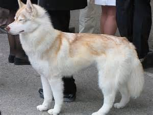 most beautiful mixed breed dogs 7 most beautiful siberian