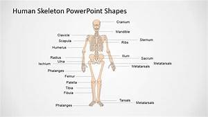 Presentation Of The Human Body In Powerpoint