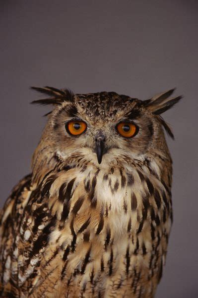 owl colors the eye colors of owls animals me