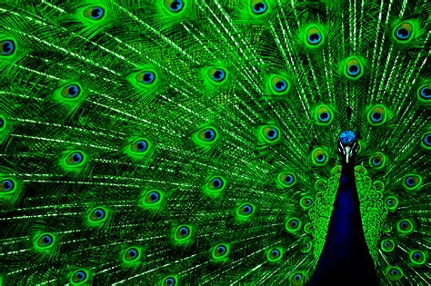 peacock green color desktop wallpapers december 2011