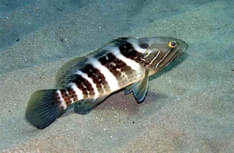 dott grouper cernia epinephelus names latin bianca perciformes order