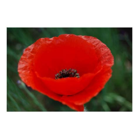 poppies meaning red poppy and meaning zazzle
