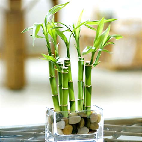 best food for bamboo plants river rock lucky bamboo with vase