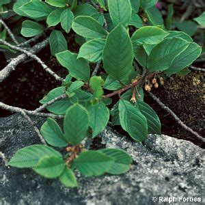 frangula alnus miller alder buckthorn flora