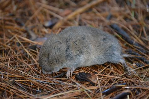 Another Peeper, And A Vole