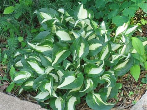 large hostas shade hosta varieties large hosta varieties wallpapers shade garden pinterest landscapes keys