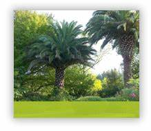 Phoenix Canariensis Entretien : planet coconut entretien palmier et conseils de culture ~ Melissatoandfro.com Idées de Décoration