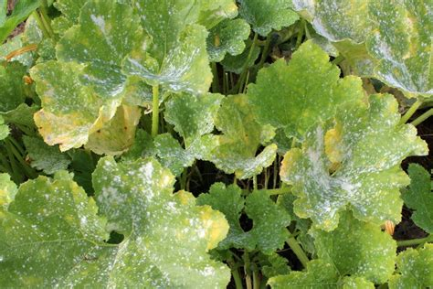 maladies  ravageurs des courges courgettes  concombres