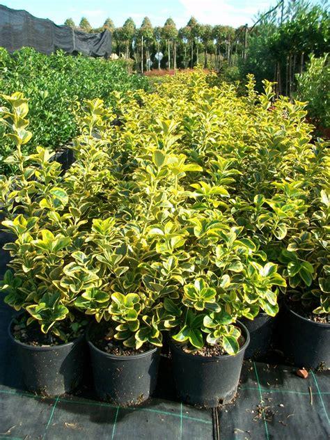 piante da siepe in vaso sempreverdi euonymus japonicus elegantissimus aurea evonimo arbusti
