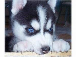 50+ Very Beautiful Siberian Husky Dog Photos And Pictures