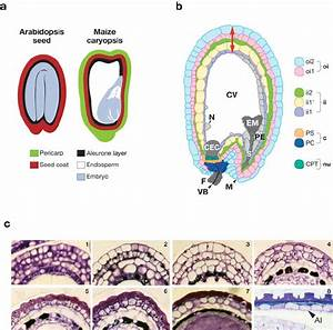 Seed Anatomy  With Emphasis On Arabidopsis Testa Structure