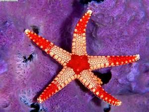 sea star wallpapers