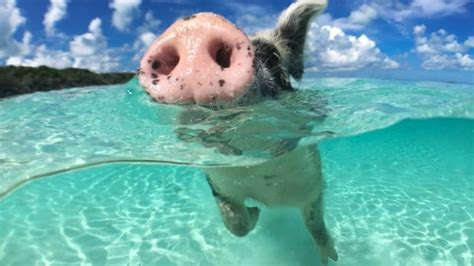 bahamas famous swimming pigs  dead  tourists