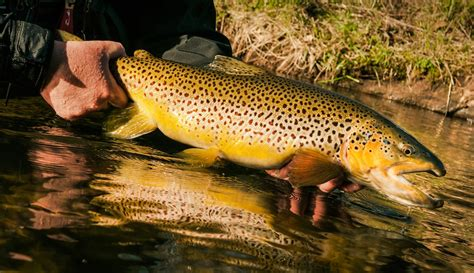 How To Caych A Trophy Brown Trout | Fly Fishing | Gink and ...