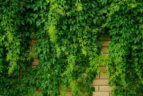 Stone Wall Overgrown With Green Leaves   Stock Photo