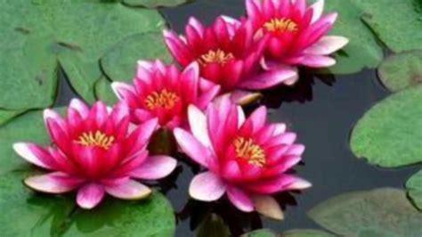 grow lotus plant  seeds