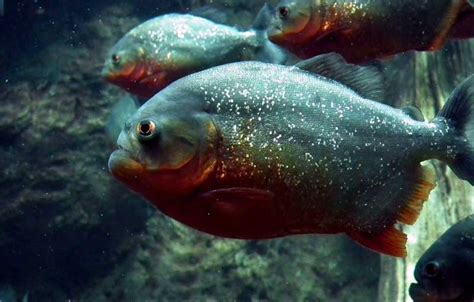 Piranha Facts & Information, With Pictures & Video