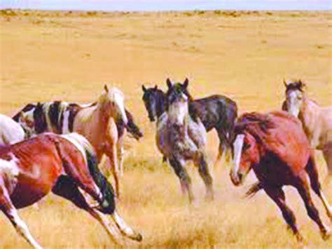 montana horses wild horse ranch herd concerns neighbor missoulian billingsgazette blm