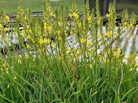 Bulbine frutescens (Yellow) | Native Sons Wholesale Nursery