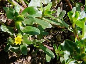 Portulak Pflanzen Kaufen : portulak portulaca oleracea ~ Michelbontemps.com Haus und Dekorationen