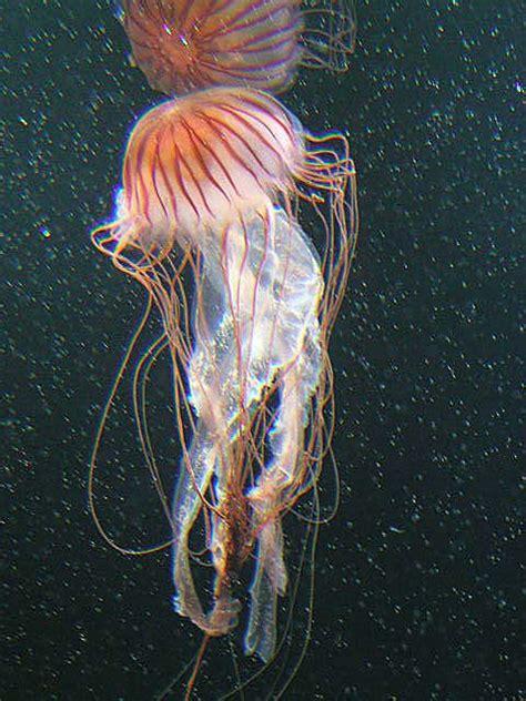 scyphozoa wikispecies