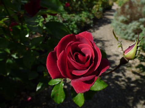 Kostenloses Foto Rose, Englischrosen, Rote Rose