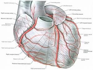 Coronary Arteries Anatomy Netter Left Coronary Artery