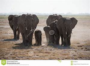 African Elephants Herd In The Wild. Stock Photo - Image ...