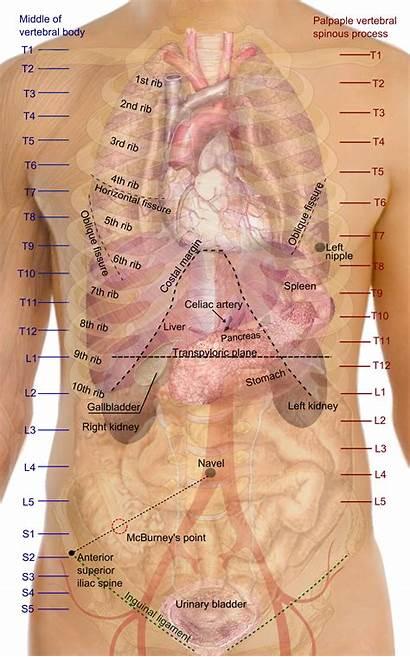 Surface Anatomy Organs Trunk Wikipedia Human Organ
