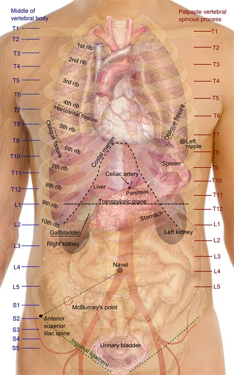 The back comprises the spine and spinal nerves, as well as several different muscle groups. Surface anatomy - Wikipedia
