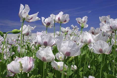 White Poppy by Basho Revisited Basho Revisited White Poppy