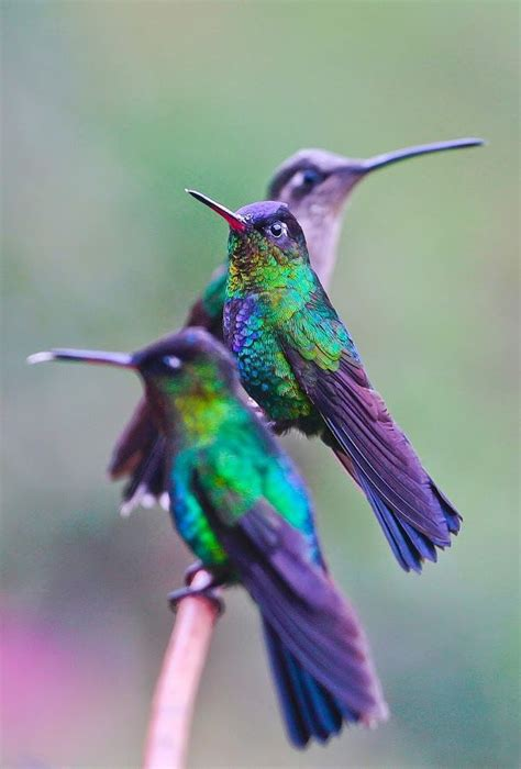 hummingbirds color purple pinterest