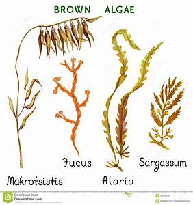 Brown Algae Stock Vector - Image: 56005692