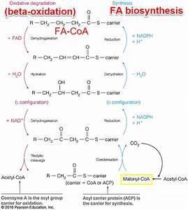 Diagram Of B Oxidation