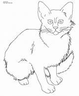 Coloring Cat Kitten Calico Printable Realistic Tabby Wild Cats Kittens Drawing Adult Template Javanese Sheets Own Getdrawings Getcolorings Drawings Dog sketch template