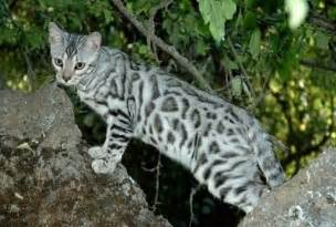 silver bengal cat bengal cat breed information and pictures