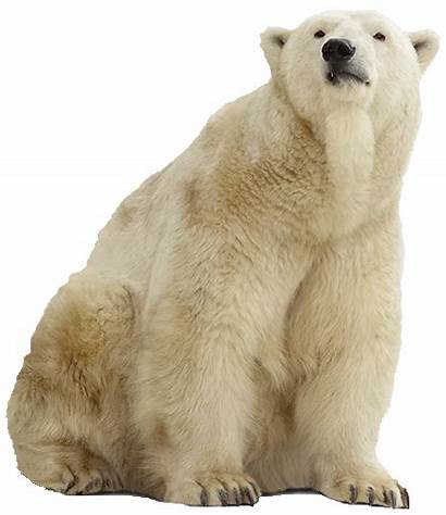 Polar Bear Animals Clip Bears Most Freepngimg