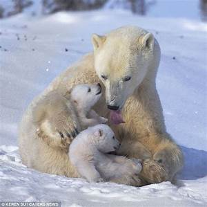 Adorable Polar Bear Cubs Playing in the Snow with Mom ...