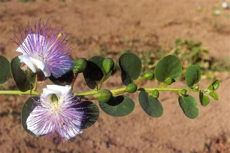 fiori capperi cappero di pantelleria