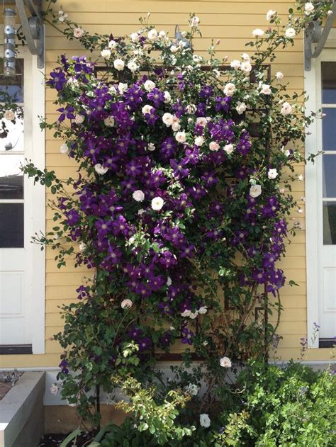 Clematis Trellis by Jackmanii Clematis And New Plant Combinations