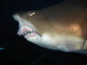 Beijing's Biggest Shark, Alpha, Dies at 15   the Beijinger