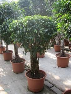 Gummibaum Verliert Blätter : ficus benjamina 39 columnar 39 zimmerpflanze ficus 39 ~ Lizthompson.info Haus und Dekorationen