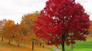 Roter Ahorn Baum : roter kugelahorn japanischer ahorn ist sehr filigran ~ Michelbontemps.com Haus und Dekorationen