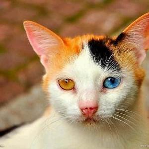 How to know if my cat is a Chimera - Quora