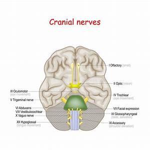 Human Brain Stem Diagram