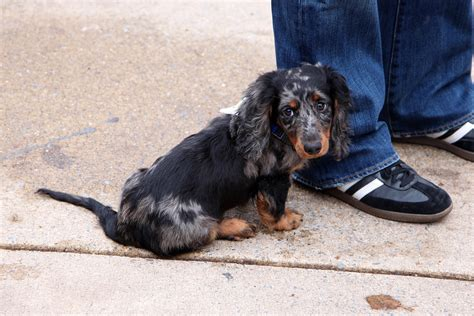 Ee  Dachshund Ee   Puppy Saw A Cute Long Haired  Ee  Dachshund Ee   Puppy Wit Flickr