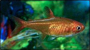 17 Best images about NEON TETRA FISH on Pinterest