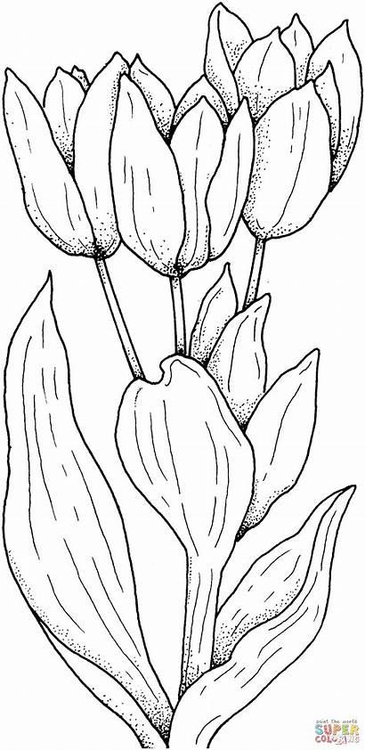 Kolorowanki Tulips Flower Tulipany Coloring Skip
