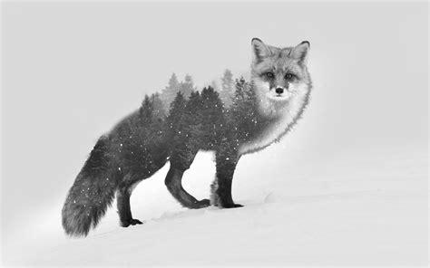 Animated Fox Wallpaper - diabloalexy fox exposure black white photo