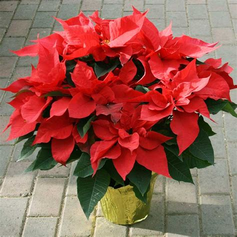 caring for poinsettias how to care for poinsettias